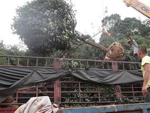 桂花树造型罗汉松月季等发货贵州