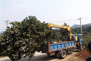 广玉兰杜英采购就选择花木篮全国免检疫苗木基地