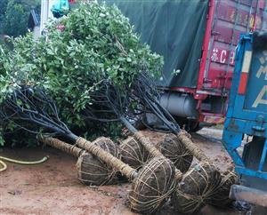 巾石乡学校绿化苗木下雨天也按时发货