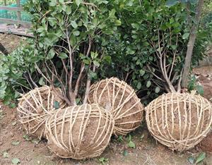 12公分香樟树,茶花球,红叶石楠苗发货