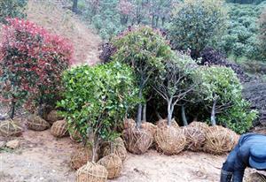 拖了这么久的江西校园绿化苗木终于发货了
