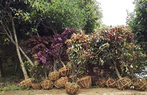 老板,别犹豫了,买绿化苗木就来花木篮