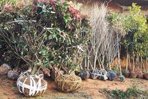 【含泪打CALL】长沙别墅绿化苗木有花有果品种推荐