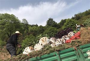 【20年铁粉】陈先生为衡东绿化项目采购绿化苗木