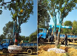 长沙40公分柚子树甜橙树发货包栽好