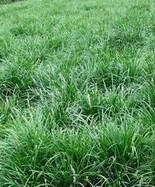 小叶麦冬草