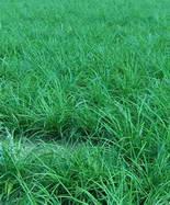 大叶麦冬草