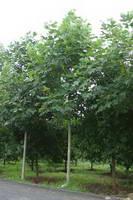 7公分马褂木