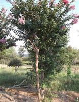 9公分紫薇树