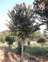 15公分紫薇树