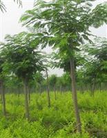 12公分合欢树