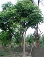 10公分栾树