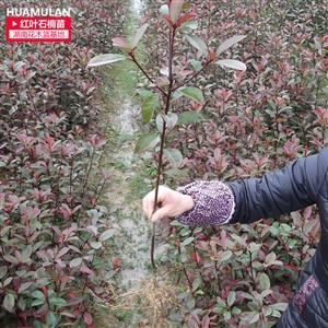 50cm高红叶石楠