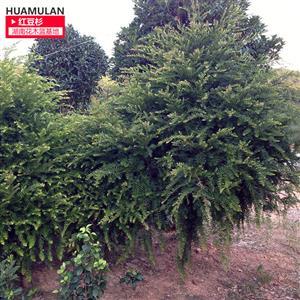 6公分红豆杉