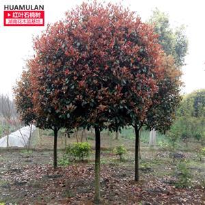 10公分红叶石楠树
